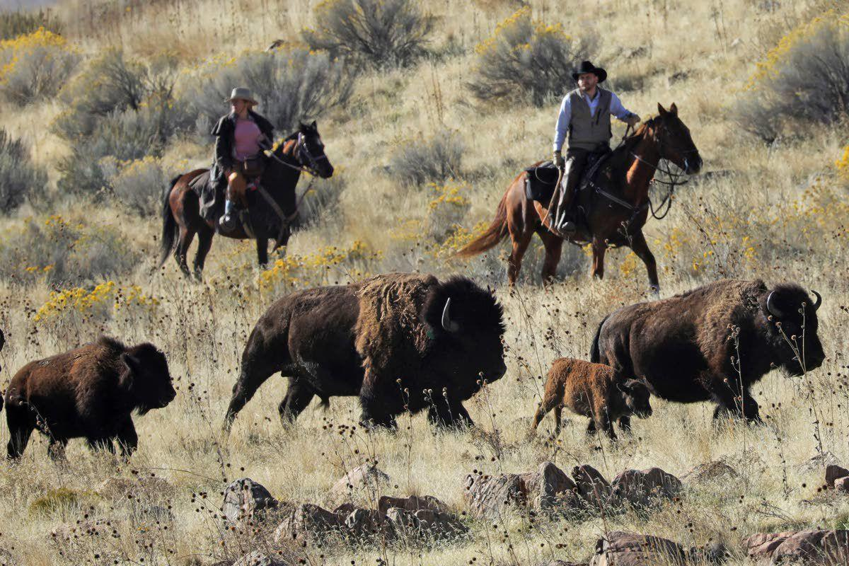 Time chips away at wild bison genetic diversity