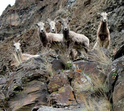 Ten Mile Creek Ranch set as friendly turf for bighorn sheep
