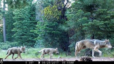 Environmentalists praise Inslee's wolf program directive