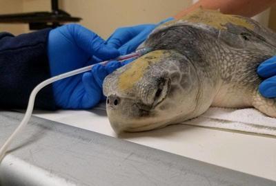 Human OD treatment can detox turtles