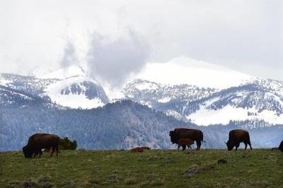 The plight of the American bison