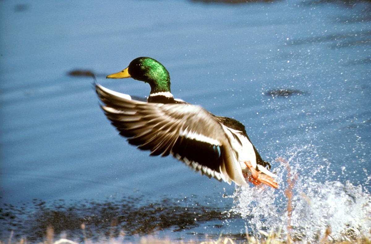 duck2_75037.jpg