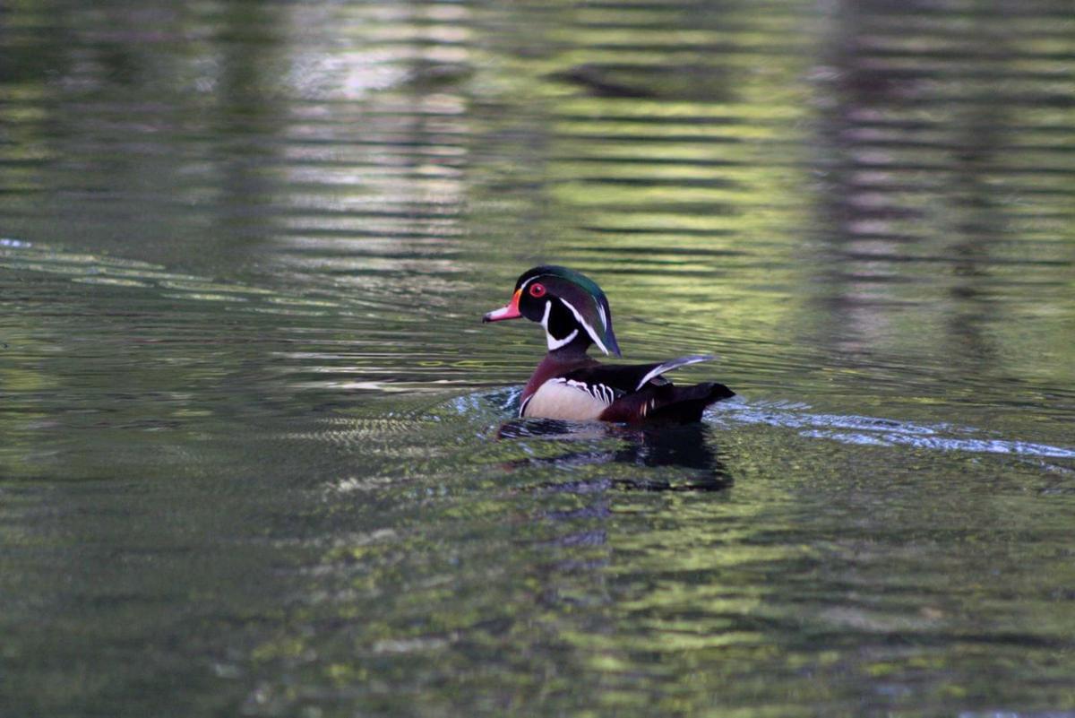 duck1_61981.jpg