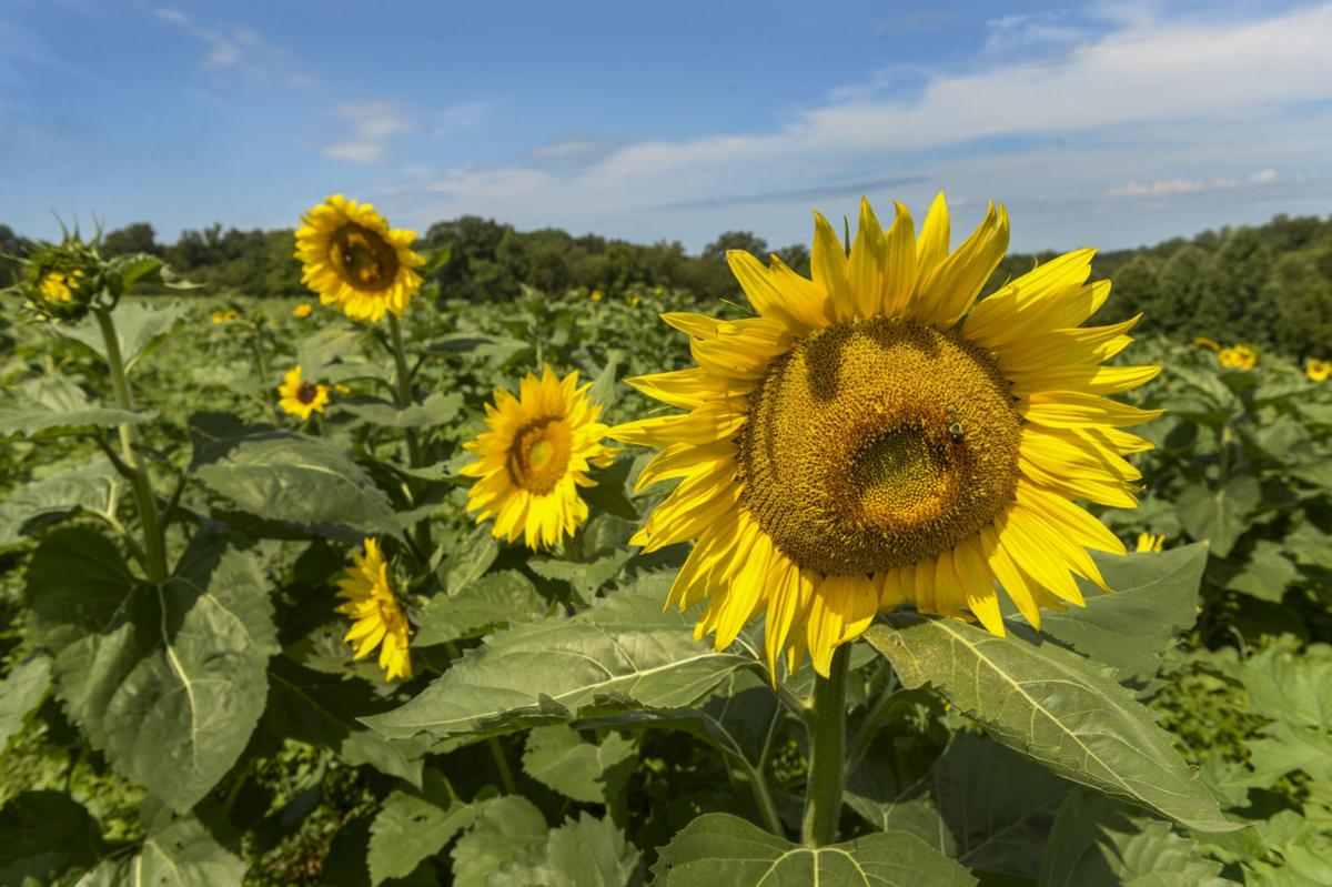 Gritts Sunflower Field