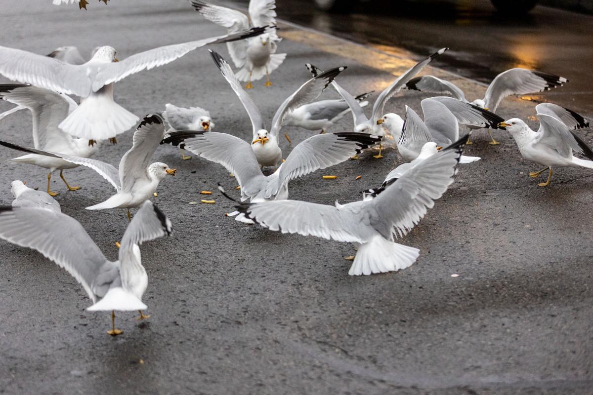 20210217-log-gulls (4 of 6).jpg