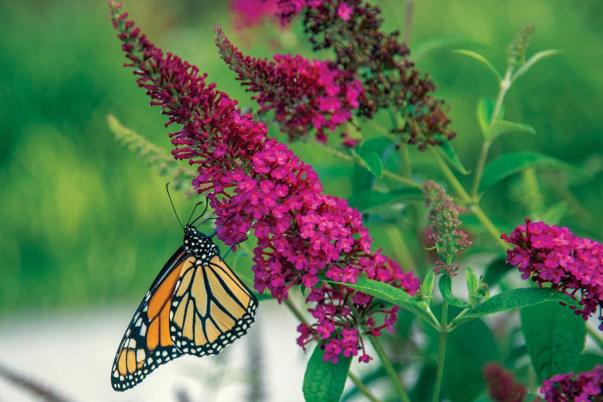 monarch_59351.jpg