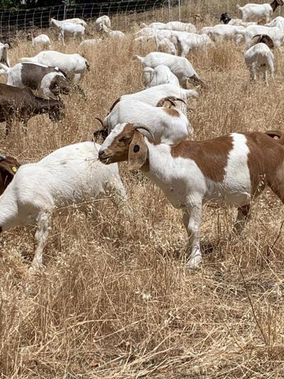 Byrne Preserve Goats