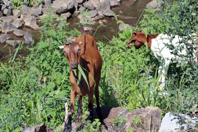 Town of Leesburg | Goats remove vegetation 4