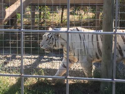 Wilson's Wild Animal | Tiger