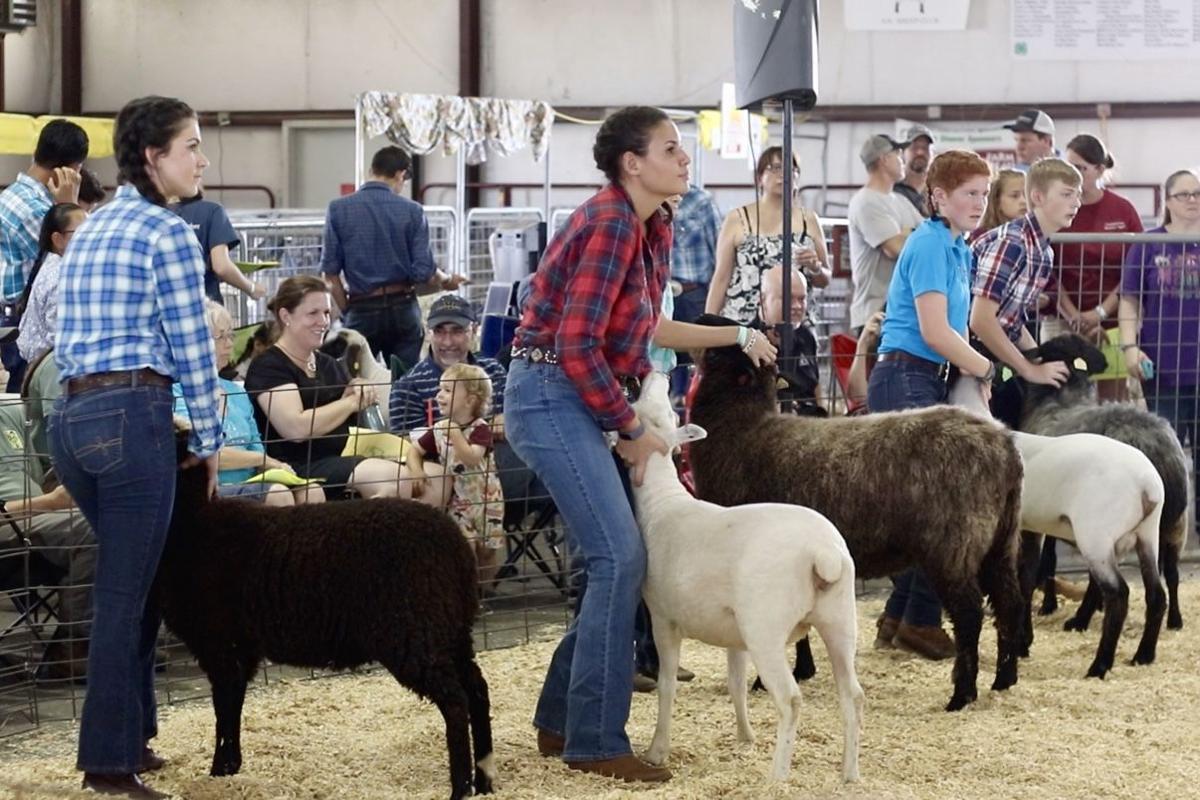 LC Fair 2019 4-H sheep showmanship