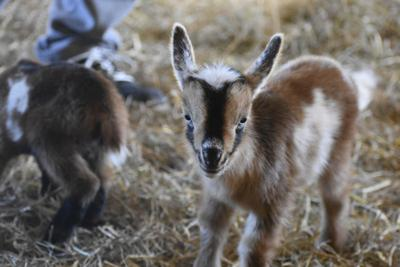 For $20, you can snuggle baby goats at this Berryville farm