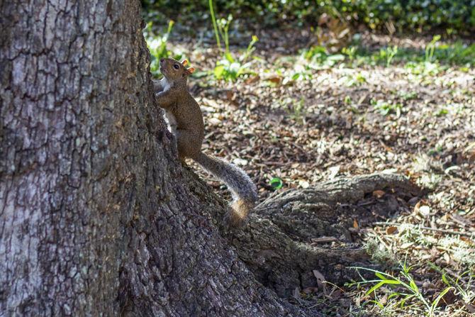 _LSUSquirrels_MS_