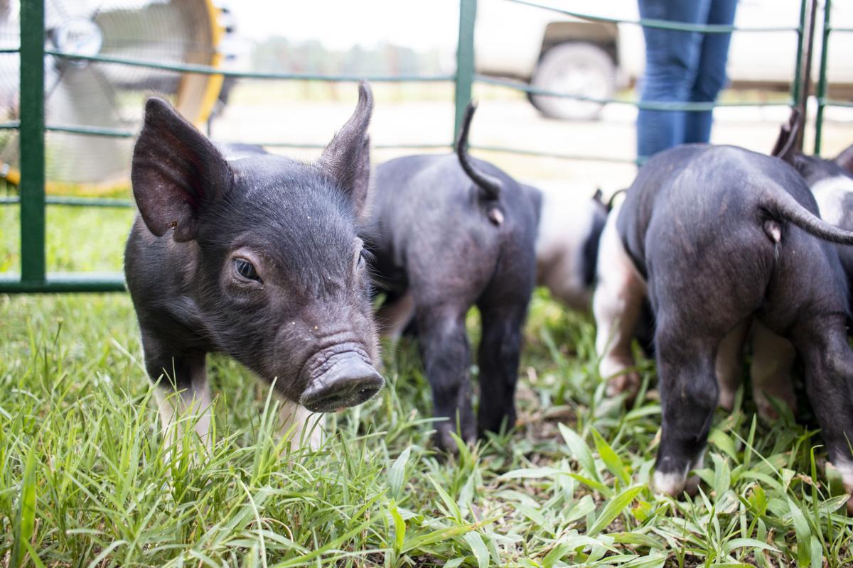 8-24-18 Piglets