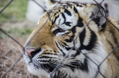 1.14.18 Tiger Captivity