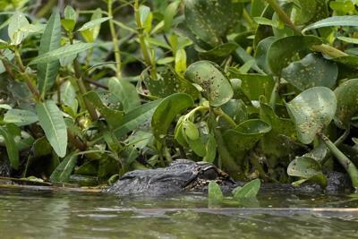 Alligator in Hog Bayou