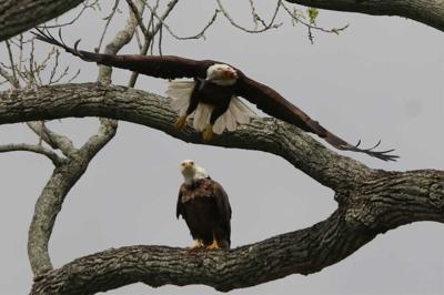 Bald eagles nesting near campus