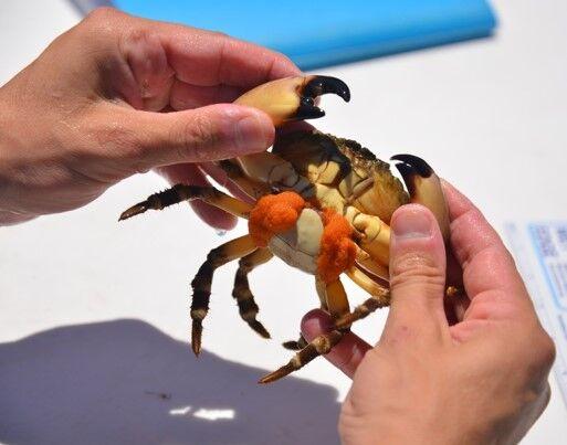 Egg bearing stone crab.jpg