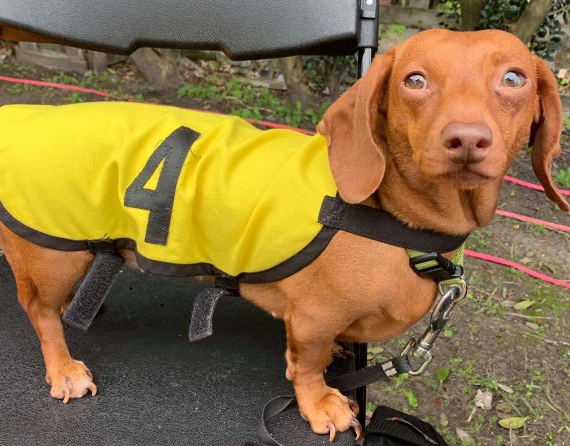 3.11.19 wiener dog racee