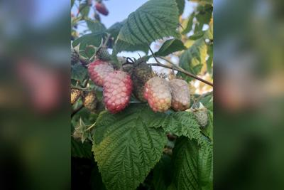 scorched raspberry crops