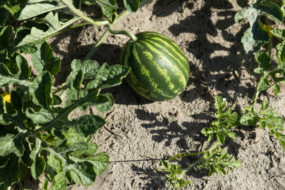 Small watermelon growing on vine
