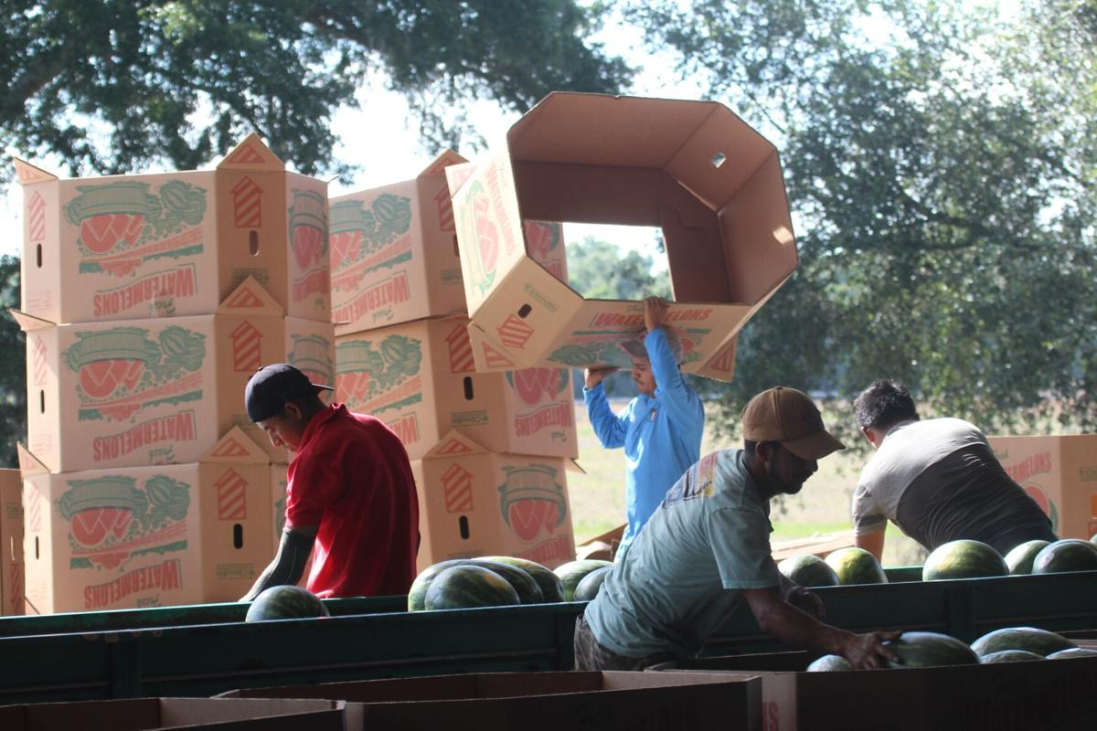 Farm crew sort and pack boxes of watermelon