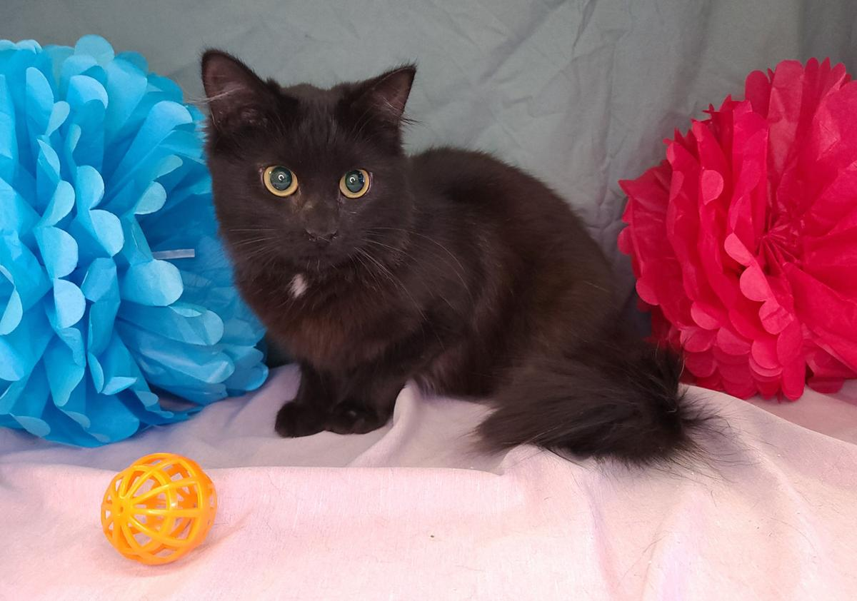 'Brownie' is shelter's Cat of the Week