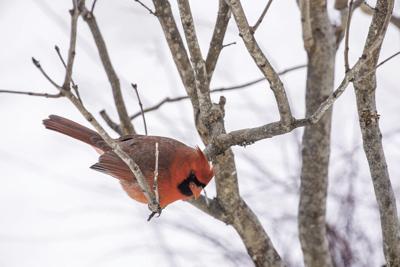 Metro Creative Cardinal