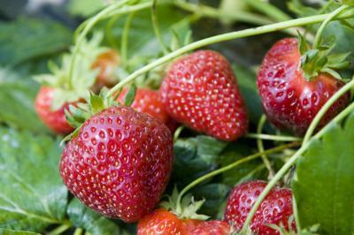TDA strawberries.jpg