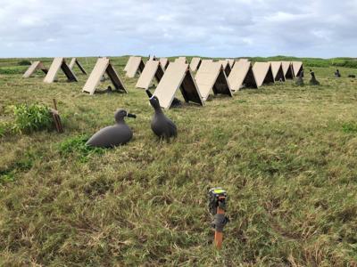 Black-footed Albatross decoy