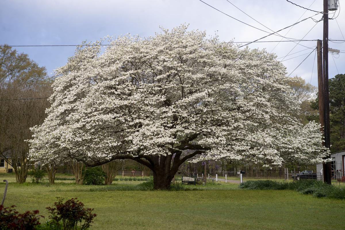 Morris County woman boasts state's largest-recorded flowering dogwood