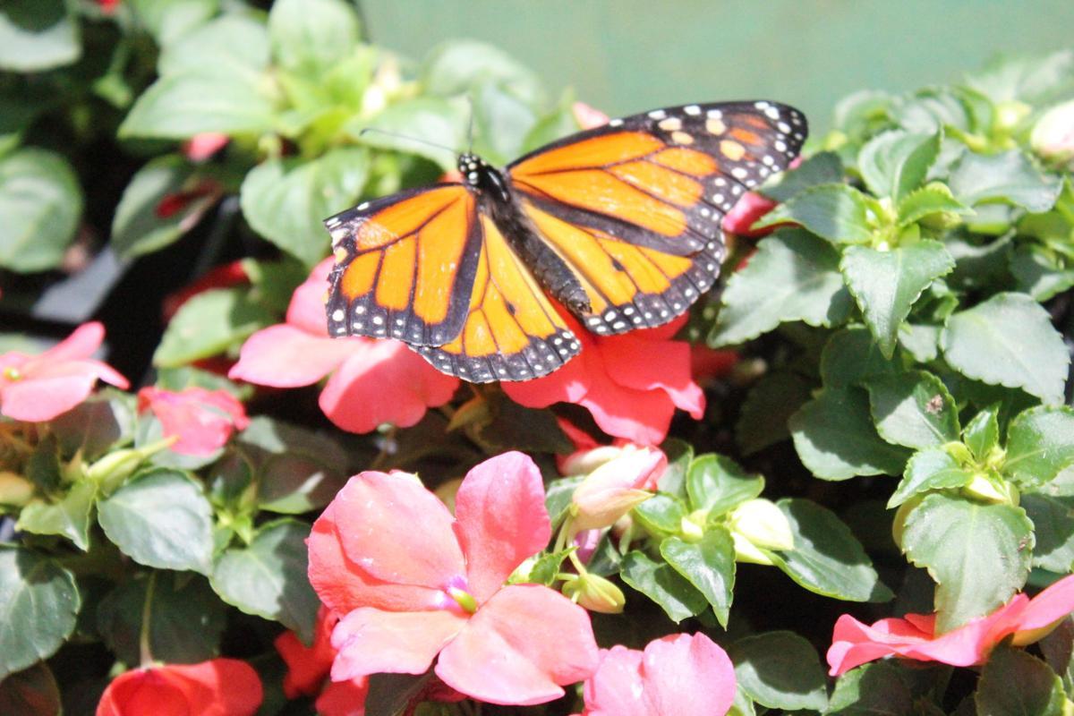 Monarch basks in the sun
