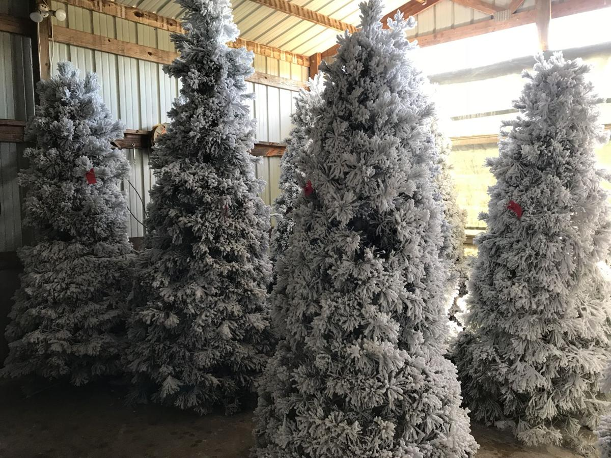 Oh Christmas tree....how lovely are your branches\' | News ...