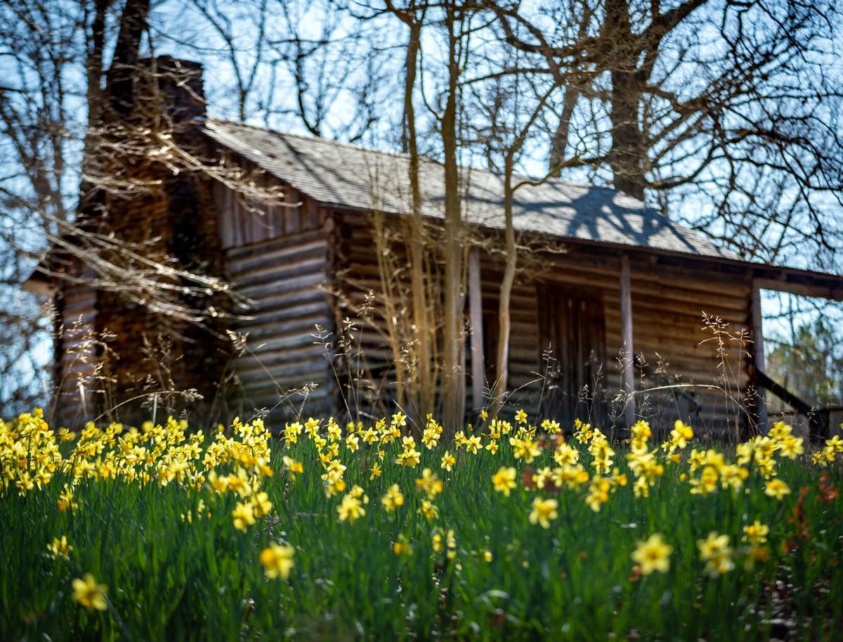 Mrs. Lee's Daffodil Gardens