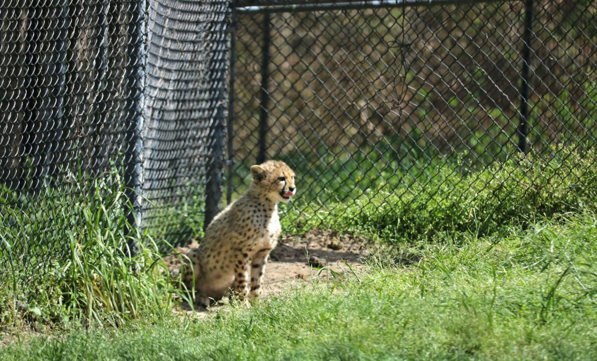 Cheetah cubs move into their new homes