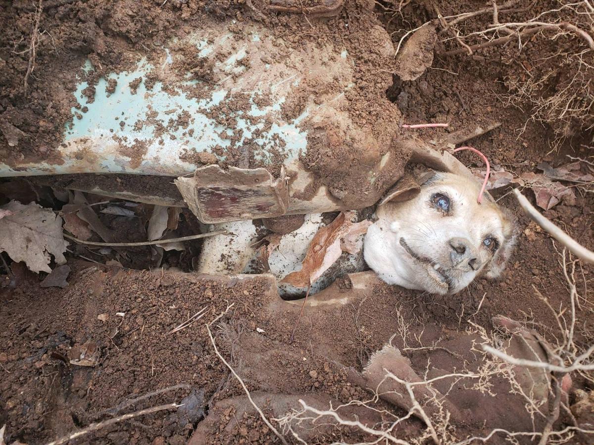 Henry, senior beagle trapped