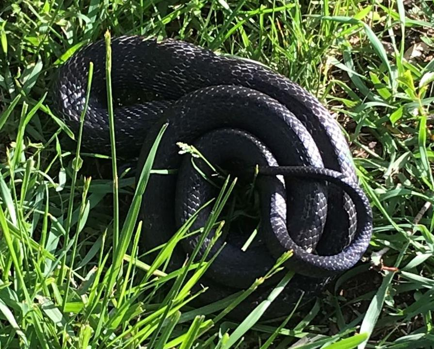 Those snakes you see in Southern Virginia may scare you, but