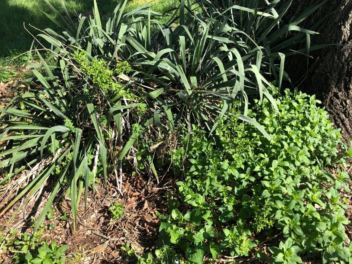 garden adam's needle and phlox