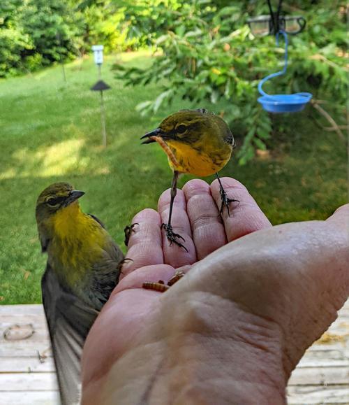 1 birds Petey and Petunia.jpg