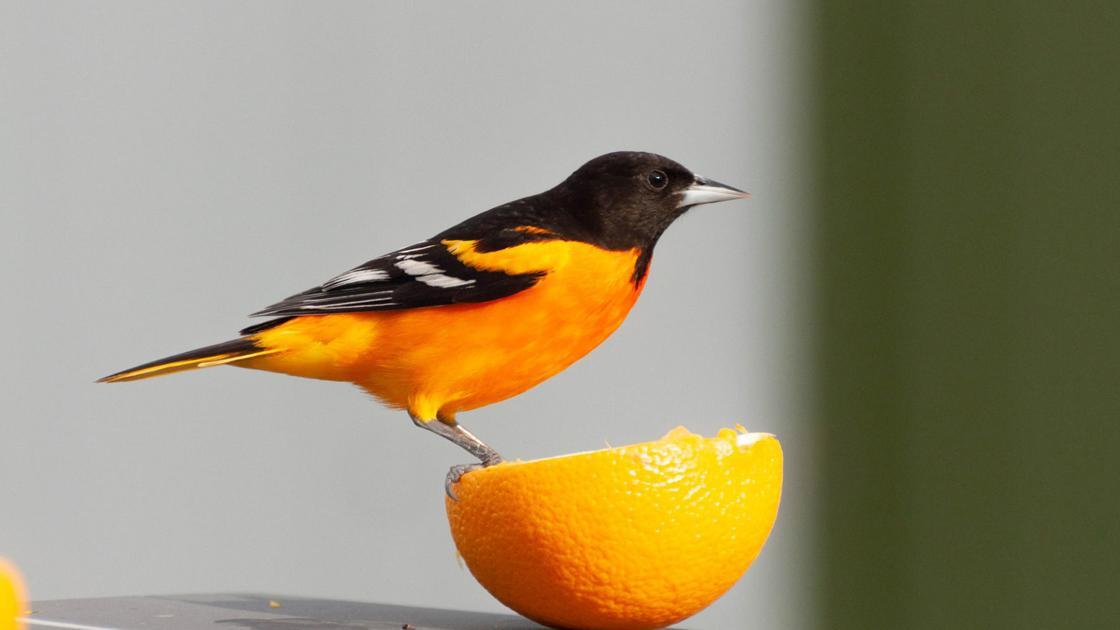For The Birds Region S Orioles Make Their Spring Return Latest Headlines Mcdowellnews Com