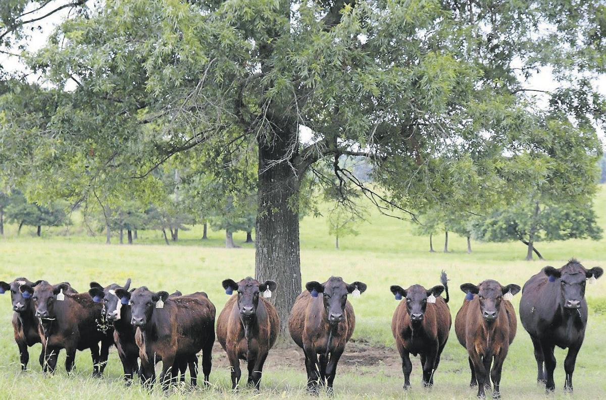 State Cattlemen's Convention starts this week in Hickory