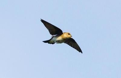 Chimney Swift