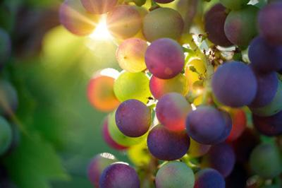 A de-vine time  September is N.C. Wine and Grape Month