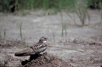 Bird Column Nighthawk.jpg