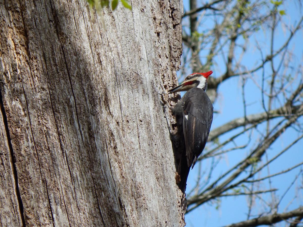 28 pileated-woodpecker-3437479_1920.jpg