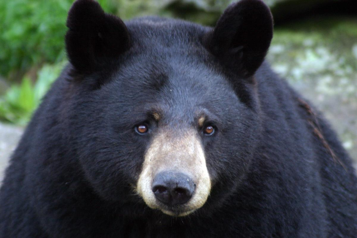 Grandfather Mountain Mourns The Loss Of Gerry The Black Bear Local News Mcdowellnews Com