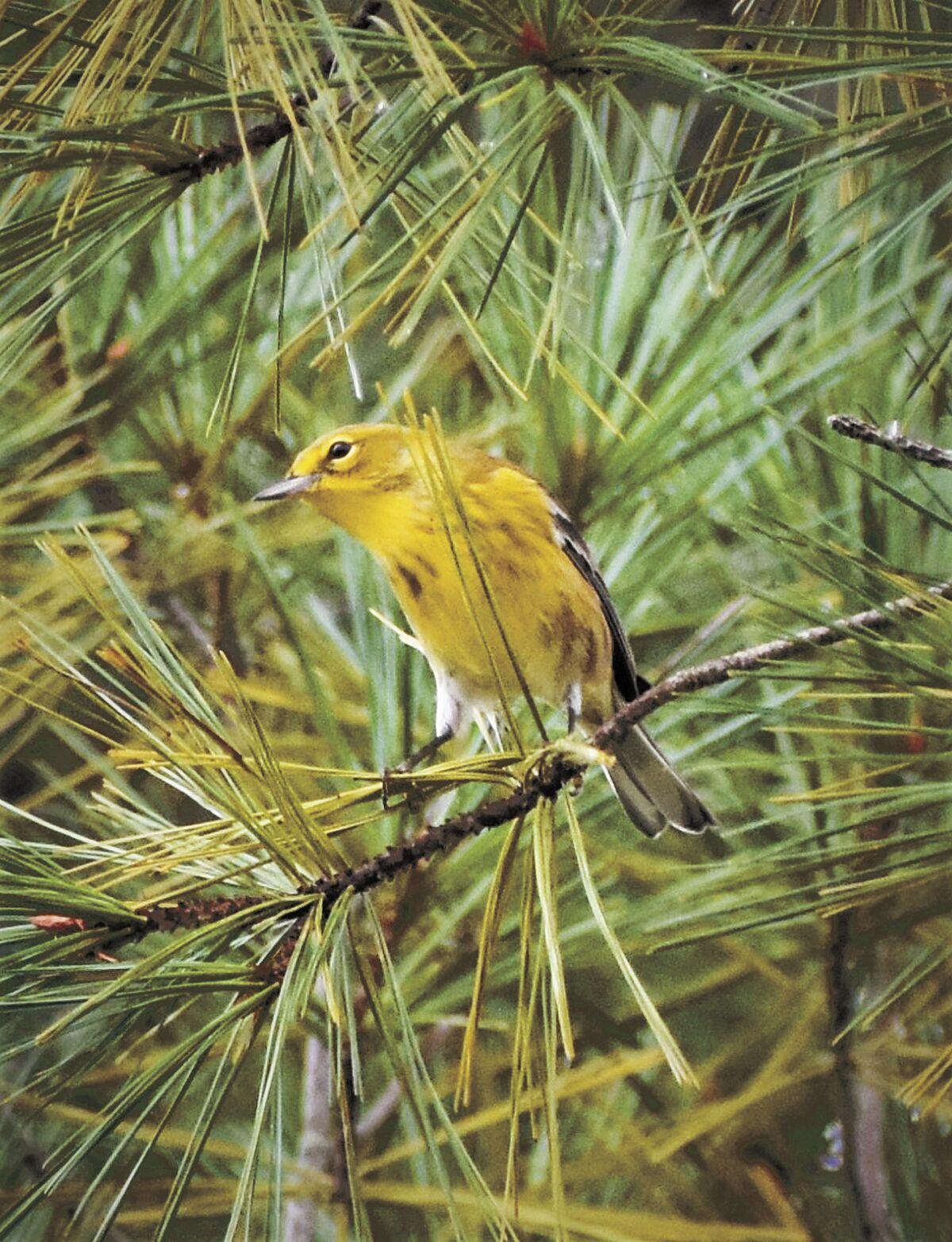 9 Bird Column Pine Warbler.JPG