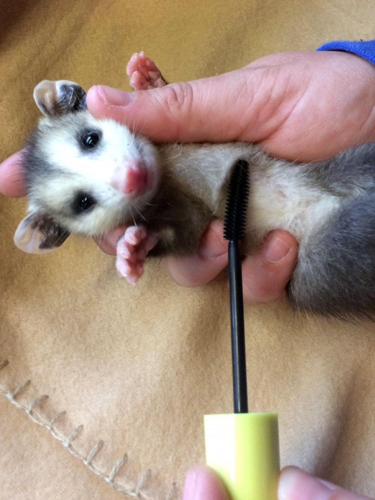 Old mascara wands help save wildlife