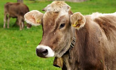 cow-3089259_1920.jpg