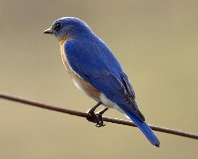 11 eastern-bluebird-1653275_1280.jpg