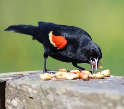 4 birds Red-wingedBlackbird.jpg